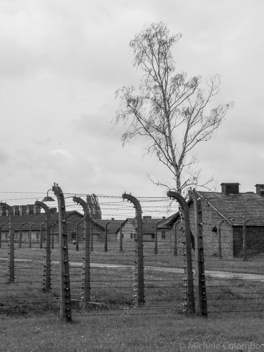 A birtch behind barbed wire in Auschwitz II - Birkenau camp