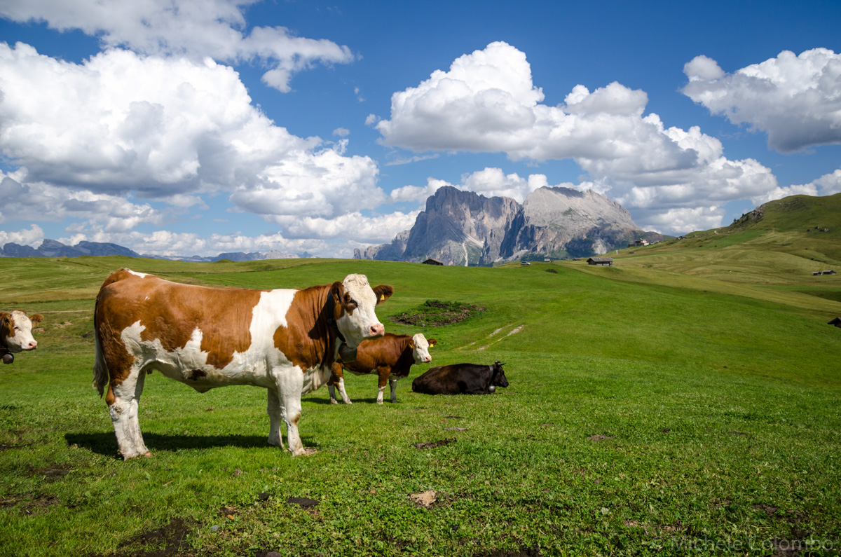 Cows in Seiser Alm with fluffy clouds